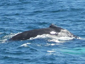 Whale Watching outside of Boston, MA