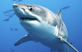 This is a picture of shark to help find the Ocean Animals Link.
